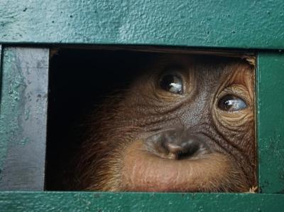 印尼獲救猩猩將放歸野外 曾險些被人從機場走私出境