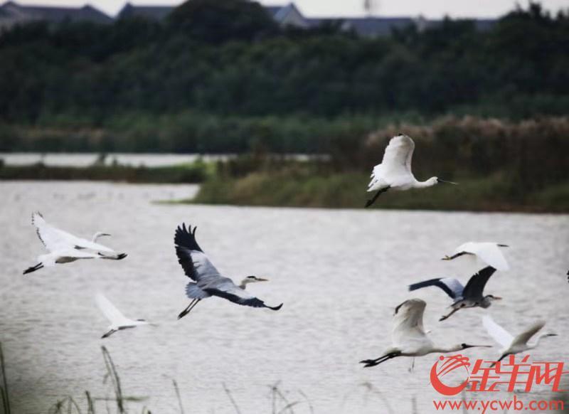 大批候鸟飞临广东湿地 广东进入最佳观鸟季