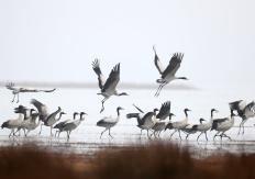 贵州威宁:鹤舞草海