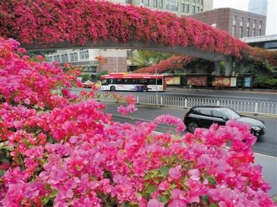 廣州簕杜鵑之美