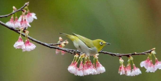 樱花枝头鸟翻飞