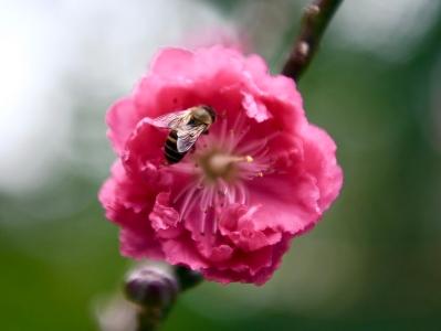 白雲山上桃花朵朵開,等你來觀賞