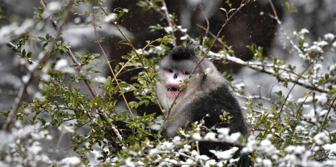 雪域精灵——滇金丝猴