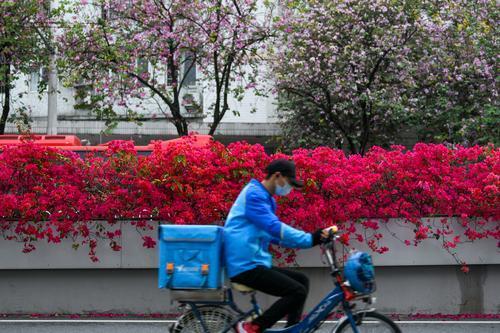 近日,广州人民北路两旁的紫荆花盛开,为蜿蜒的人民北路铺上了一条粉紫色的彩带。道路两旁的紫荆花已经种植了20多年,花朵以浅粉色为主,并有粉紫色、玫红色和乳白色的穿插期间。不过,受新型冠状病毒感染的肺炎疫情影响,前来赏花的市民寥寥无几,只有路过的行人偶尔驻足。羊城晚报记者 梁喻 摄