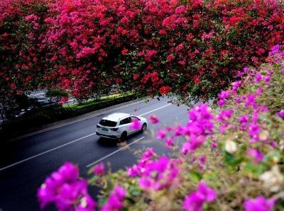 簕杜鵑綻放花城廣州