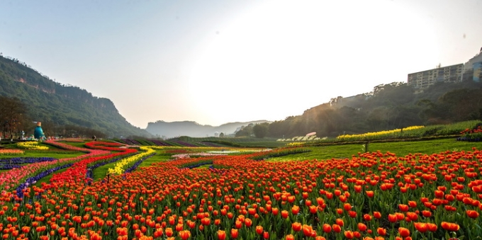 四川泸州:郁金香迎春绽放