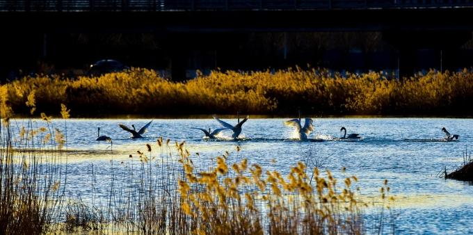 北京:野生天鹅沐浴暖阳春光