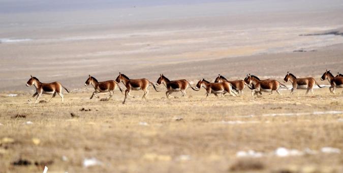 甘肃阿克塞:高原精灵驰骋牧场