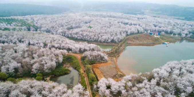 安徽宣城:樱花绽放春意浓