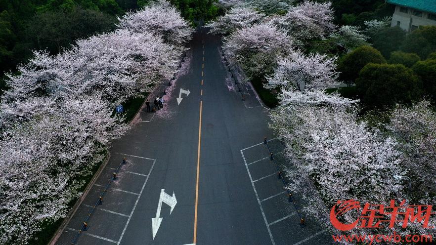 2020年3月23日,武大樱花盛开,这是武汉最寂静的春天,往年此时,樱花大道熙熙攘攘,此刻只偶有零星的几位工作人员在樱花树下走过。这也是武汉最坚强的一个春天,武汉新增病例清零第五天,熟悉的武汉正在回来。羊城晚报全媒体记者 汤铭明 摄