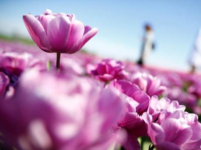 德国郁金香盛放 花田如铺满鲜花地毯