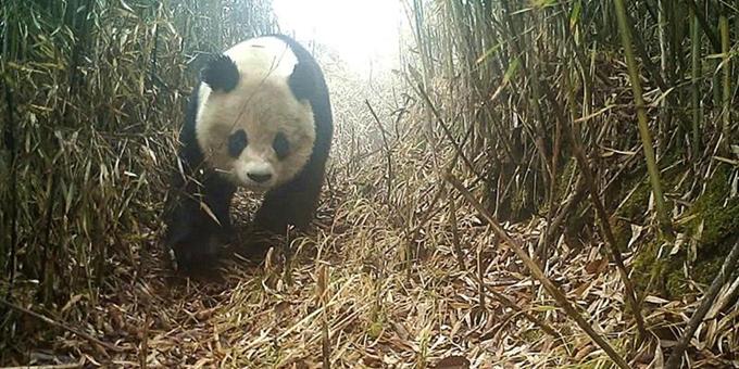 四川绵竹境内再次发现野生大熊猫