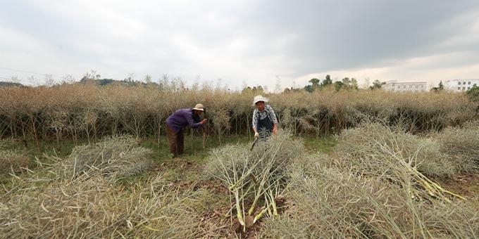 贵州黔西:油菜籽进入丰收季