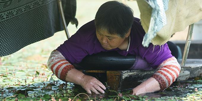 杭州传统名菜西湖莼菜进入采摘季 一片一叶皆辛苦