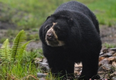 探访哥伦比亚动物保护区 眼镜熊现身林间憨厚可爱