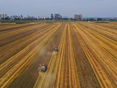 湖北:夏糧小麥喜獲豐收