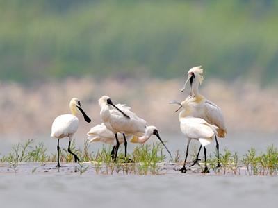 遼寧莊河:珍稀黑臉琵鷺現身灘地嬉戲