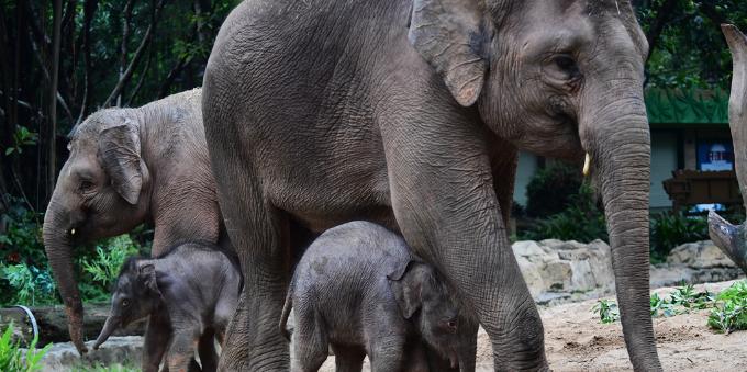 長隆野生動物世界迎來2只新生亞洲小象