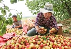山西稷山:红杏熟了 钱袋鼓了