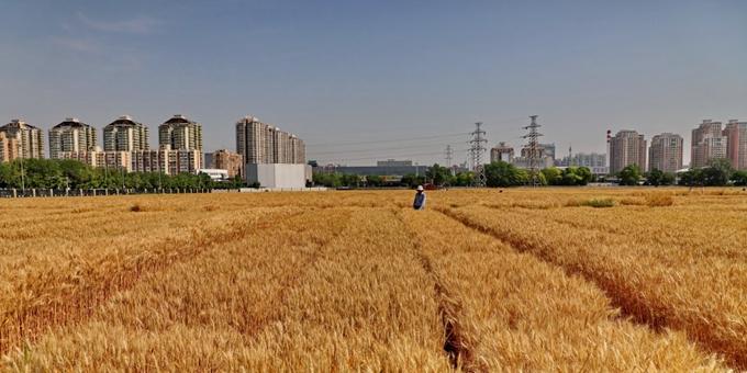 北京:麦浪滚滚迎丰收