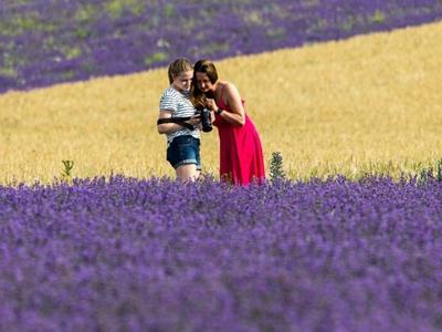 克里米亚薰衣草盛开 游客流连紫色花海
