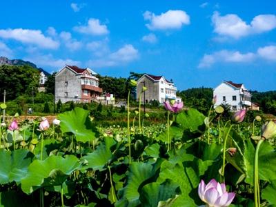 安徽庐江:山乡荷花香 人居环境美
