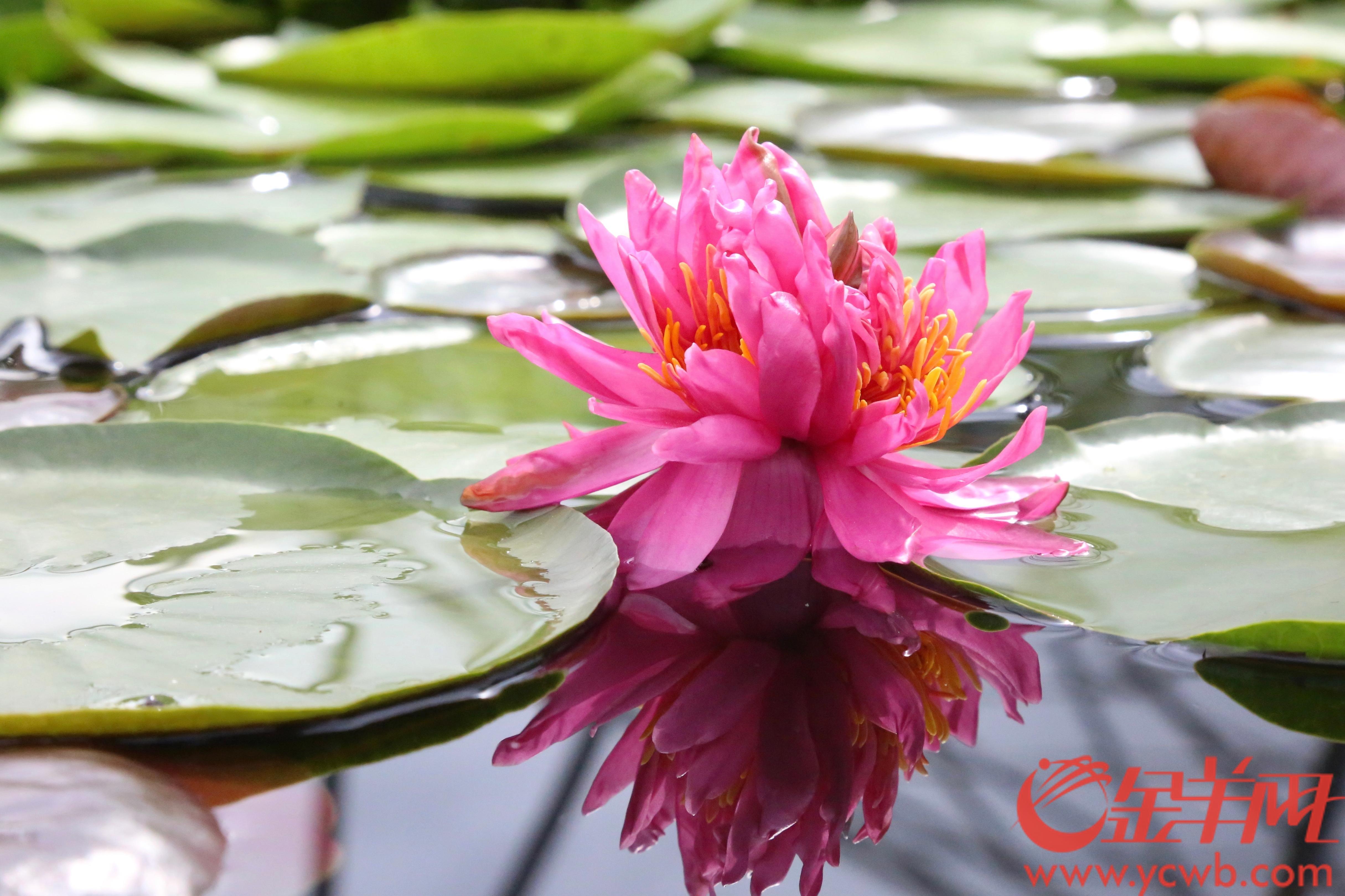 """2020年7月9日上午,广州番禺莲花山旅游区莲花仙境内发现一株盛开的七蒂睡莲奇观。该七蒂睡莲在一条花茎上,共有七个完整的花冠,其中六个花冠360度围成一圈,簇拥着中间的一个花冠,游客从各个角度观赏都可以看到其令人惊艳的美姿。据工作人员介绍,该株七蒂睡莲奇观的母本为""""小宝贝"""",色彩鲜艳,花型娇丽,并具有香味,是一个极为优良的小型睡莲品种。 这株七蒂睡莲是景区继2016年以及2019年分别发现十分罕见的五蒂奇观后,首次发现的七蒂奇观。目前,第34届全国荷花展还在广州番禺莲花山举办,共展出来自世界各地的荷花品种1200余个、睡莲品种500余个,花朵正值盛花期。羊城晚报全媒体记者 梁喻 通讯员 番宣 摄"""