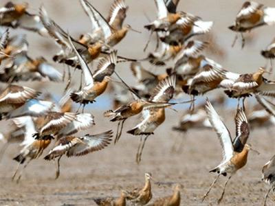 江苏东台:数千只黑尾塍鹬栖息条子泥湿地