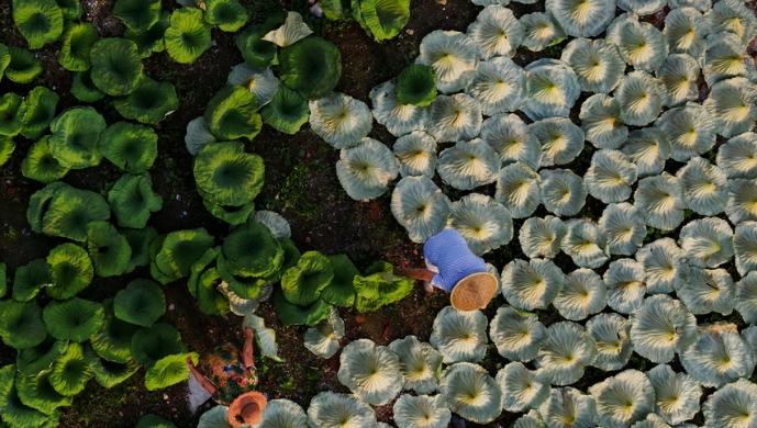 山东济宁:微山湖荷叶变宝助农增收