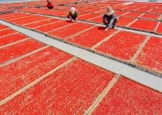 甘肃张掖:枸杞红了 农户富了