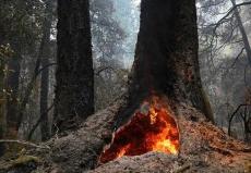 美国加州山火延烧至红杉林 部分树龄超2000年