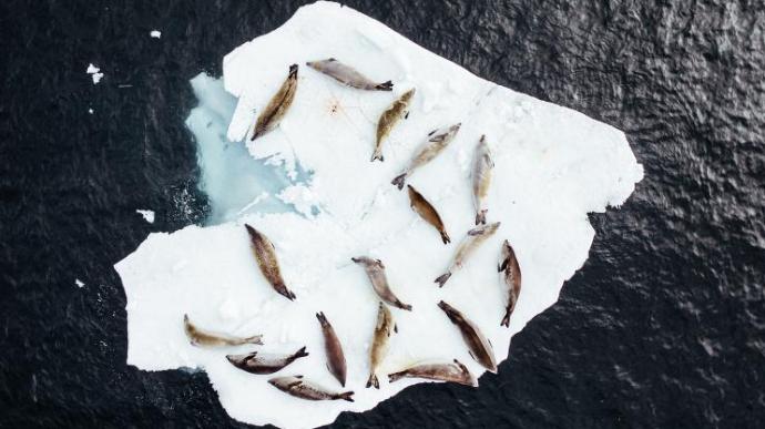 """浪漫""""床铺"""" 南极洲海豹躺心形冰块上休息"""