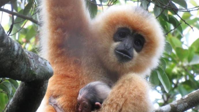 全球最濒危灵长类物种海南长臂猿喜添新丁