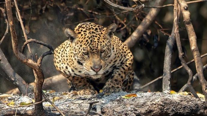 美洲豹现身巴西潘塔纳尔湿地过火林区 生存环境堪忧