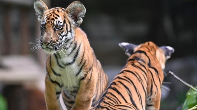 华南虎双胞胎亮相广州与游客见面
