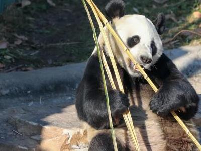 沈阳森林动物园 大熊猫呆萌可爱