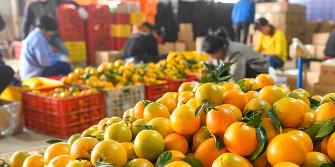 湖南道县:脐橙丰收 果农增收