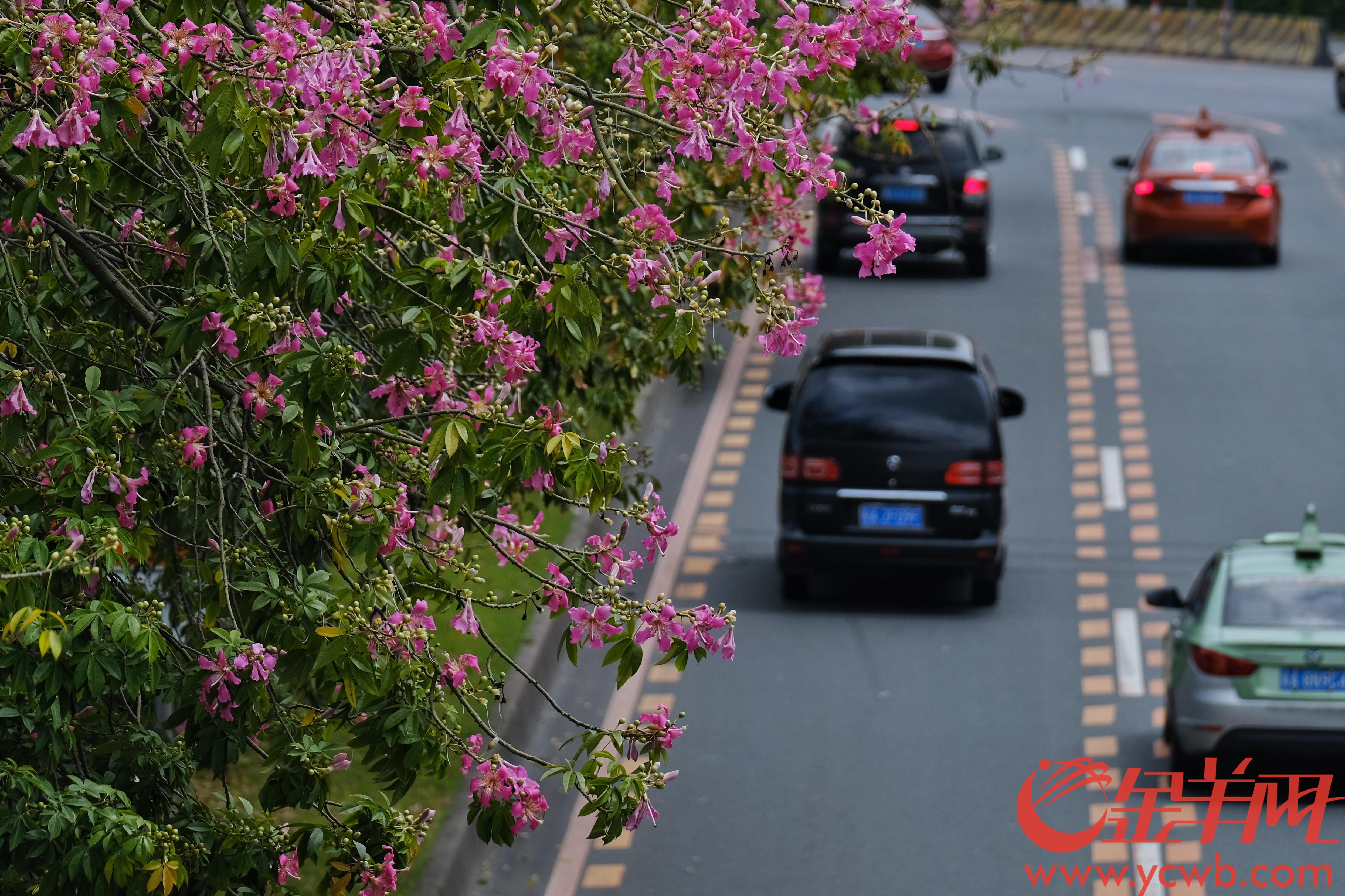 """近日,广州风和日丽,气温""""飙升"""",各处的异木棉花灿烂盛放。文/图 羊城晚报全媒体记者  陈秋明"""
