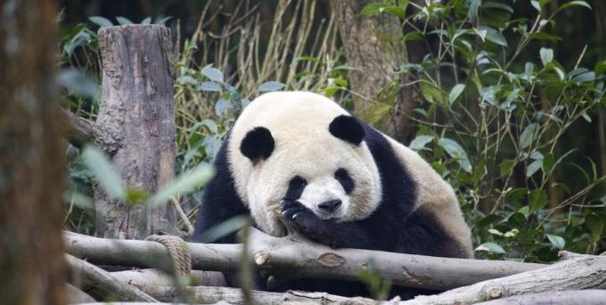 """成都大熊猫繁育研究基地举办2020年""""免费开放日""""活动"""