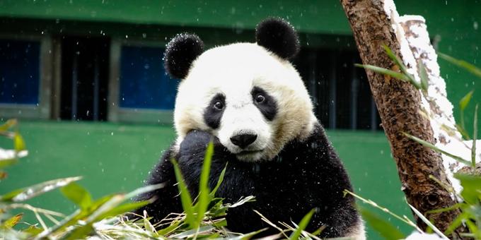 四川卧龙:雪中大熊猫憨态可掬