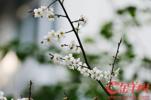 1月15日,广州天气回暖,阳光明媚,广州市中心梅花村,梅花灿烂开,吸引不少街坊到来打卡。目前正是盛花期,街坊出门就能赏梅。羊城晚报全媒体记者 陈秋明 摄