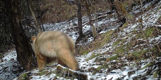 全球唯一的白色大熊猫四肢毛发变金色