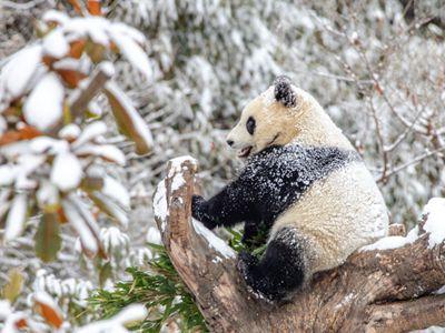 熊猫戏雪萌萌哒