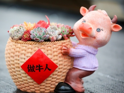 """江苏如皋:生肖""""牛""""造型多肉植物受欢迎"""
