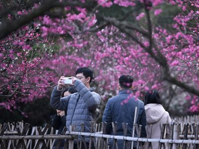杭州西湖边梅花盛开 吸引游客市民前往打卡