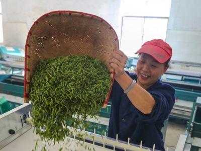 浙江杭州:千岛湖茶生产忙