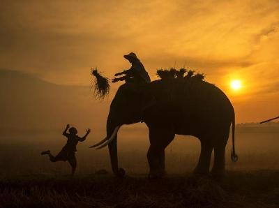 泰国农民与大象形影不离 相伴出入沐浴朝阳