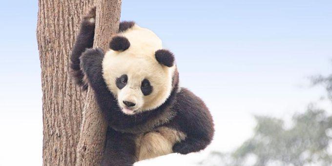 四川雅安大熊猫萌态十足惹人爱