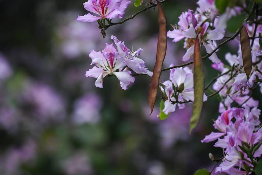 【组图】宫粉紫荆盛放,装点花城广州