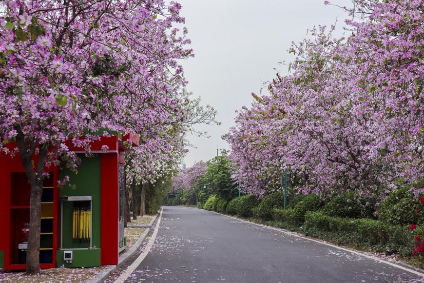 广州海珠湿地数千株宫粉紫荆盛开